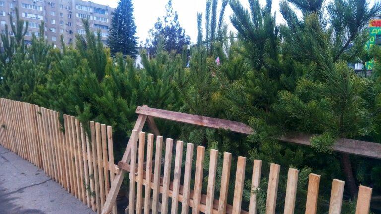«С одной макушкой и смолой на стволе»: волгоградцам рассказали, как правильно выбрать елку