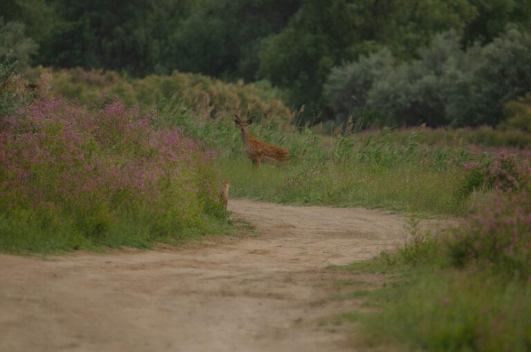 В Астраханском заповеднике впервые встретили пятнистого оленя