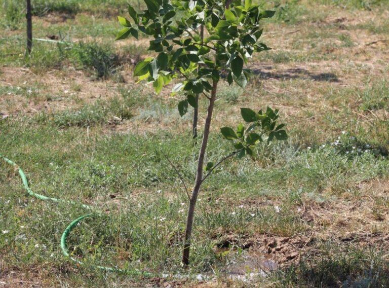Волжане жалуются на некачественный полив деревьев в городе