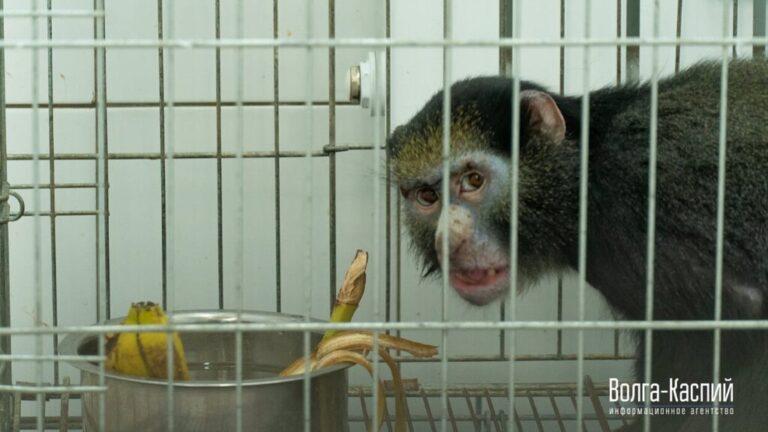 Стала известна судьба обезьяны, изъятой у контрабандистов под Волгоградом