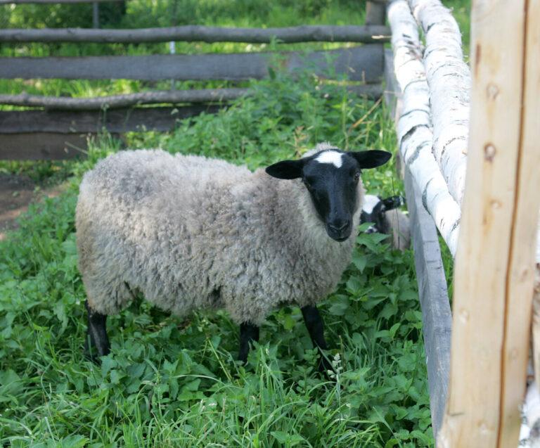 Под Волгоградом овца на сельской дороге привела к смертельному ДТП