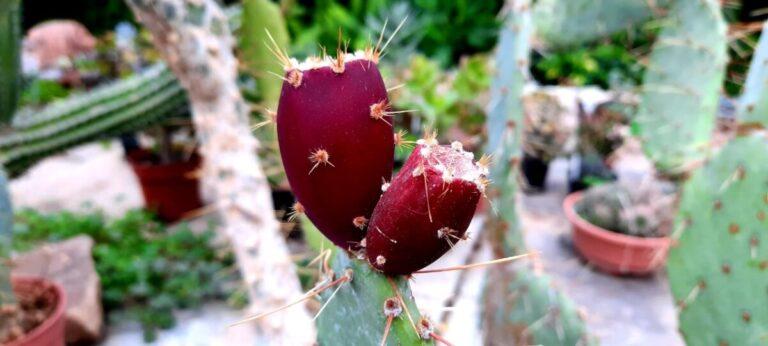 В Волгоградском ботаническом саду дегустируют плоды кактуса