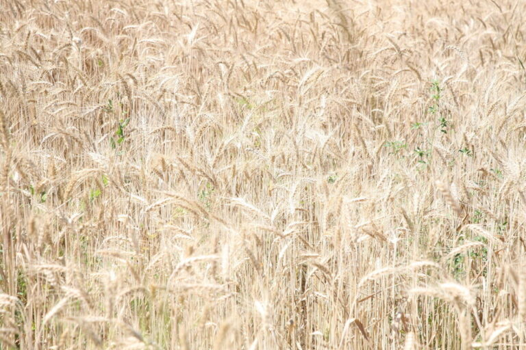 В пшенице «Суровикинского элеватора» нашли карантинный сорняк