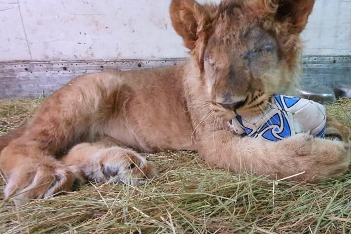 «Чтобы спасти ему жизнь»: молодому льву Грому, изъятому у контрабандистов, удалили оба глаза